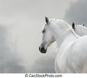 blanco, caballos,
