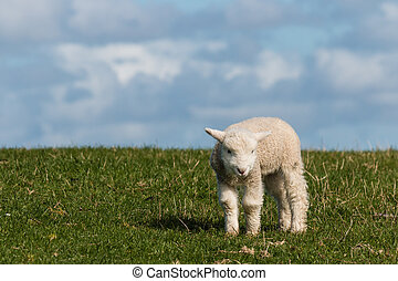 newborn lamb on green grass