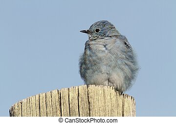 Mountain Bluebird on a post