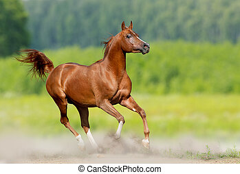 arabian stallion runs in nature