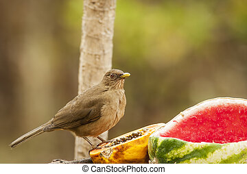 At the Feeder - The Clay-colored Thrush or Yiguirro is the...