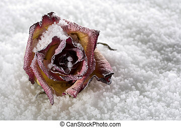 Fallen rose frosted on ice cover in studio