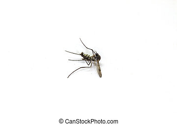 Dead mosquito lie-down on white background close up
