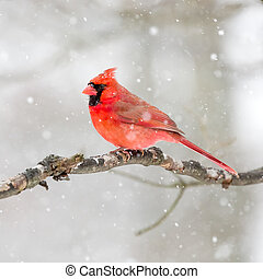 Male Cardinal In The Snow - Male Cardinal perched on snow...