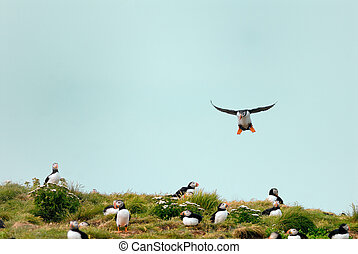 Puffins are breeding in the cliff of Newfoundland island