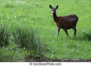 Wild deer in a Lake District field