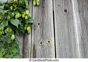 Hop fruits and Copy Space - Hopfenfruechte an einer alten...