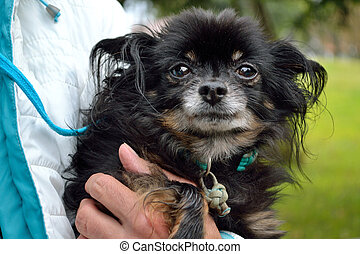 Person holding Pinscher in the arm - Person haelt einen...