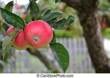 Apples on the tree - closeup - Nahaufnahme von unbehandelten...