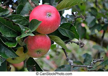 Apples on the tree - close-up - Nahaufnahme von...