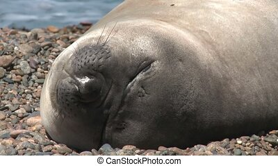 Argentinean fur seal sleeping on the coastline of Atlantic...