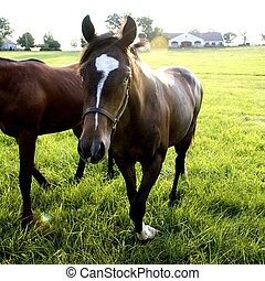 Kentucky Thoroughbreds