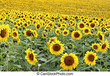 Landscape view of a sunflowers field