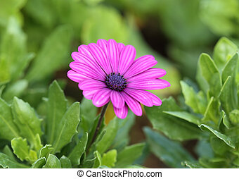 osteospermum flower in the garden