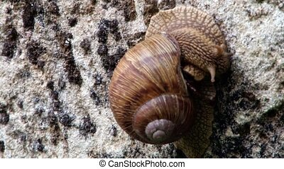 Big Snail on Rock - A Big Forest Brown forest snail species...