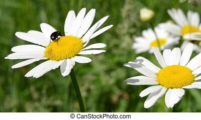 Beetle on Daisy Flower - A black beetle stands on a ox-eye...