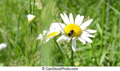 Beetle Sits on Daisy