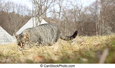 Cat Eats Grass - A tabby cat is eating grass in nature...