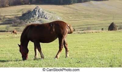 Brown Horse Peacefully Grazing - Brown horse grazing...
