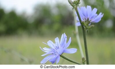 Blue Chicory Flower - Common chicory, is a somewhat woody,...