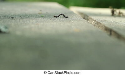 Cankerworm on Wood - A canker worm is moving strangely on a...