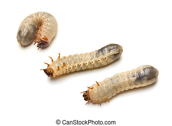 Beetle Larvae - Three Green June Beetle larvae Cotinis...