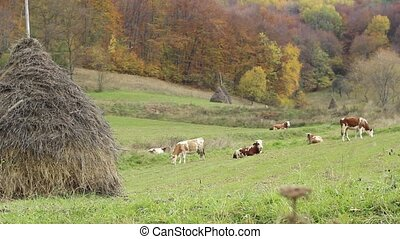 Cattle Ecological Grazing - Spotted cows peacefully grazing...