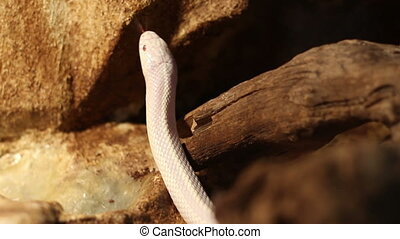 Curious White Snake - Active albino white snake with red...
