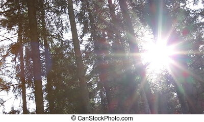 Dazzling Sunlight Through Pines - Sun shines through thorny...