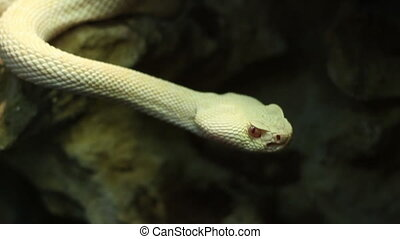 Crotaline Snake - White crotaline snake moving and analyzing...