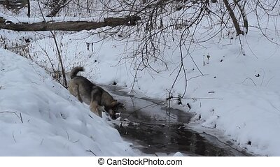 Dog near Snowy River - A dog running on the steep bank of a...