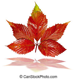 Red autumn leaf isolated on white background