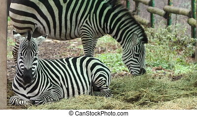 Zebras Grazing - Two zebras peacefully at grazing time.