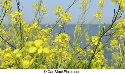 Yellow Small Flowers near Sea - Yellow small flowers with...