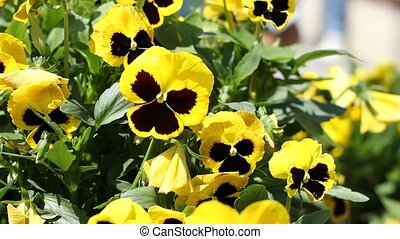 Yellow Pansies - Yellow beautiful pansy shot The pansy is a...