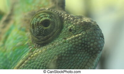 Eyes of Chameleon - Close up shot with eyes of a green...