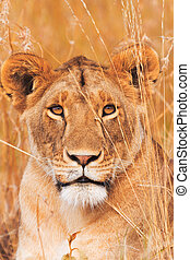 Female lion in Masai Mara - Female lion sitting in the grass...