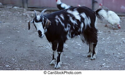Goat in Countryside Farm - Full shot of a mottled domestic...