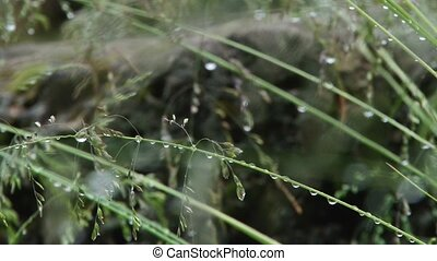 Grass Water Drop - A grass water drops close up footage,...