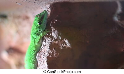 Gecko Lizard - Vivid green little gecko lizard holding on a...