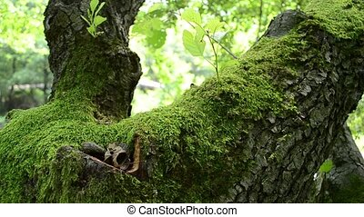 Green Moss on Tree - Green moss ha grown a tree trunk Mosses...