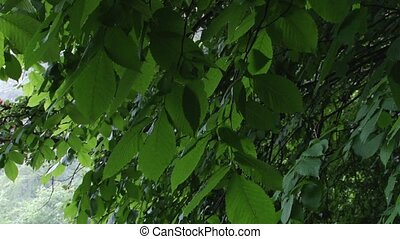 Green Alder Swaying Leaves - Just the green alder leaves,...