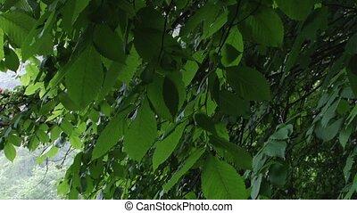 Green Alder Swaying Leaves - Just the green alder leaves,...