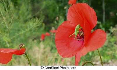 Grasshopper on Poppy Flower - A green grasshopper is hooking...
