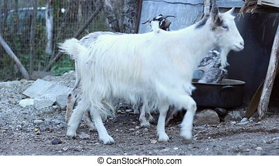 Goats and Fowls in the Yard - Fowls and goats in the...