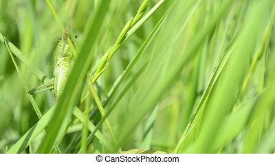Green Grasshopper on Blade of Grass - A green grasshopper...