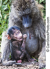 Mother and baby baboon,in the Tarangire National Park,...
