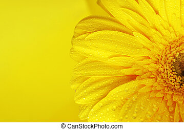 yellow flower - yellow gerbera flower close up background