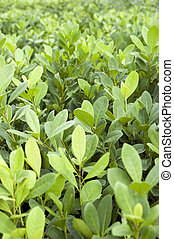 Yerba Mate Crop - Crop of young seedlings of Argentinian...
