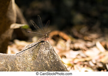 Tsingy damselfly - Beautiful big damselfly in the Tsingy de...